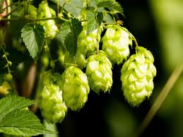 Hops Close Up