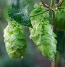 Hops up close