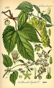 Old Illustration of Hops - Humulus lupulus - Original book source: Prof. Dr. Otto Wilhelm Thomé Flora von Deutschland, Österreich und der Schweiz 1885, Gera, Germany