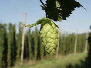 German Hops; Courtesy of: LuckyStarr under the license: http://creativecommons.org/licenses/by-sa/3.0/deed.en.